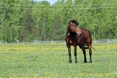 Die braunen Pferdenkosten (Standplätze) hafteten auf einer Weide Lizenzfreies Stockbild