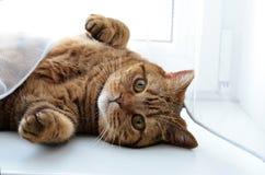 Die britische Katze Lizenzfreie Stockfotografie