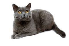 Die britische Katze Stockfoto