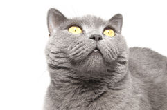 Die britische Katze Lizenzfreies Stockfoto