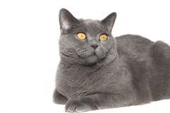 Die britische Katze Stockfotos
