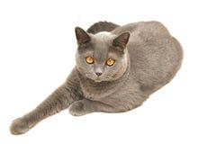 Die britische Katze Stockbild