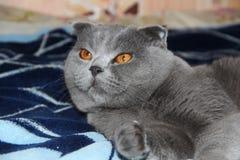 Die britische Katze kam zu Bett zu gehen stockfoto