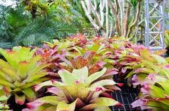 Die Bromelie (Aechmea Fasciata) pflanzen Stockfotos