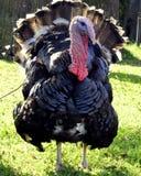 Die Bronze, breit-chested Truthahn Schöner Gobbler Der früheste Name für den Truthahn ist die 'türkischen Hühner ' lizenzfreies stockbild