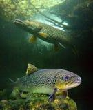 Die brown-Forelle und ein großer NordPike. Stockbild