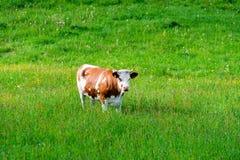 Die Brown-Weiß Kuh Lizenzfreies Stockbild