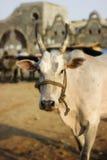 Die Bull Lizenzfreie Stockfotos