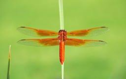 Die bunte Flammen-Abstreicheisen-Libelle Stockfoto