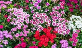Dianthus-Blume Lizenzfreies Stockfoto