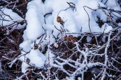 Die Buschniederlassungen umfasst durch den Schnee Stockbild