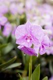 Die bybrid Veilchenorchidee Stockfotos