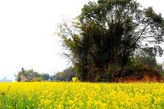 Die Canolablume und das gelbe Feld in China Lizenzfreies Stockbild