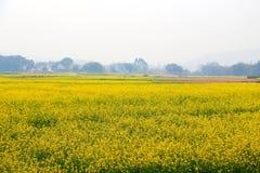Die Canolablume und das gelbe Feld in China Lizenzfreie Stockfotografie