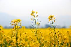 Die Canolablume und das gelbe Feld in China Lizenzfreie Stockfotos