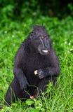Die Celebes erklommen das Makakenessen Grüner natürlicher Hintergrund Erklommener schwarzer Makaken, Sulawesi erklomm Makaken ode stockfoto