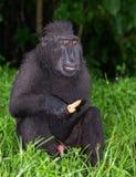 Die Celebes erklommen das Makakenessen Grüner natürlicher Hintergrund Erklommener schwarzer Makaken, Sulawesi erklomm Makaken ode stockfotos
