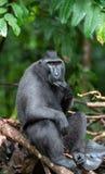Die Celebes erklommen das Makakenessen Grüner natürlicher Hintergrund Erklommener schwarzer Makaken, Sulawesi erklomm Makaken ode stockbild