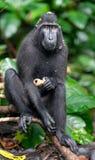 Die Celebes erklommen das Makakenessen Grüner natürlicher Hintergrund Erklommener schwarzer Makaken, Sulawesi erklomm Makaken ode lizenzfreies stockfoto