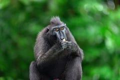 Die Celebes erklommen das Makakenessen Grüner natürlicher Hintergrund Erklommener schwarzer Makaken, Sulawesi erklomm Makaken ode stockbilder
