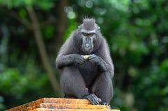 Die Celebes erklommen das Makakenessen Grüner natürlicher Hintergrund Mit Haube schwarzer Macaque lizenzfreie stockbilder