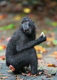 Die Celebes erklommen das Makakenessen Schließen Sie herauf Portrait Erklommener schwarzer Makaken, Sulawesi erklomm Makaken oder stockfotografie