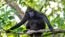 Die Celebes erklommen Makaken auf der Niederlassung des Baums Schließen Sie herauf Portrait Erklommener schwarzer Makaken, Sulawe lizenzfreies stockfoto