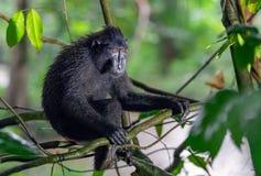 Die Celebes erklommen Makaken auf der Niederlassung des Baums Schließen Sie herauf Portrait Erklommener schwarzer Makaken, Sulawe stockfotos