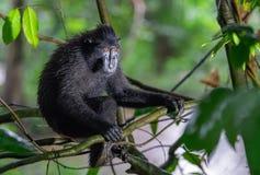 Die Celebes erklommen Makaken auf der Niederlassung des Baums Schließen Sie herauf Portrait Erklommener schwarzer Makaken, Sulawe stockfoto