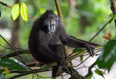 Die Celebes erklommen Makaken auf der Niederlassung des Baums Schließen Sie herauf Portrait Erklommener schwarzer Makaken, Sulawe stockbild
