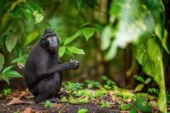 Die Celebes erklommen Makaken im Waldnatürlichen Lebensraum stockfoto