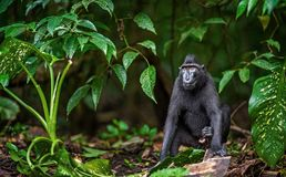 Die Celebes erklommen Makaken im Waldnat?rlichen Lebensraum stockbilder