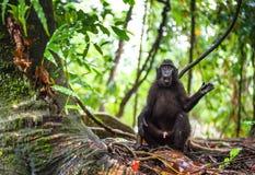 Die Celebes erklommen Makaken im Waldschwarzen Makaken mit Haube, erklomm Sulawesi Makaken oder den schwarzen Affen Nat?rlicher L stockfotografie