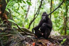 Die Celebes erklommen Makaken im Waldschwarzen Makaken mit Haube, erklomm Sulawesi Makaken oder den schwarzen Affen Nat?rlicher L lizenzfreies stockfoto