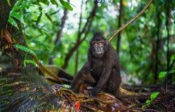 Die Celebes erklommen Makaken im Waldschwarzen Makaken mit Haube, erklomm Sulawesi Makaken oder den schwarzen Affen Nat?rlicher L stockfotos