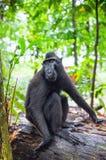 Die Celebes erklommen Makaken im Waldschwarzen Makaken mit Haube, erklomm Sulawesi Makaken oder den schwarzen Affen Nat?rlicher L lizenzfreie stockbilder