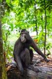 Die Celebes erklommen Makaken im Waldschwarzen Makaken mit Haube, erklomm Sulawesi Makaken oder den schwarzen Affen Nat?rlicher L stockbild
