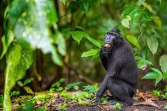 Die Celebes erklommen Makaken im Waldschwarzen Makaken mit Haube, erklomm Sulawesi Makaken oder den schwarzen Affen Nat?rlicher L lizenzfreies stockbild