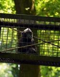 Die Celebes erklommen Makaken Macaca Nigra am ZOO lizenzfreies stockfoto