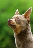 Die Chihuahua Lizenzfreie Stockfotografie