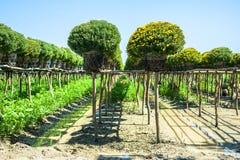 Die Chrysanthemenblumen Lizenzfreies Stockbild