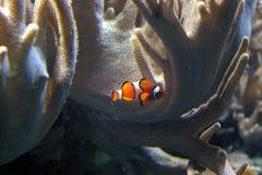 Die Clownfische Lizenzfreies Stockfoto