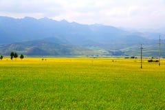 Die Coleblumen von Qinghai Menyuan ländlich idyllisch Stockfotografie