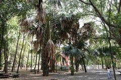 Die Corypha lecomtei Bäume an Tempel Manee Kwan Chai in Saraburi, Thailand Stockfotografie
