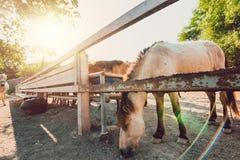 Die dünnen Pferde im Zaun- und Sonnenlicht lizenzfreies stockbild