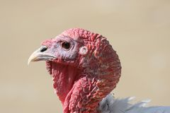 Die Danksagungs-Türkei-Portrait Stockfotos