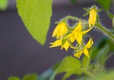 Die diese Tomatenpflanze keimt im Frühjahr Lizenzfreie Stockfotografie