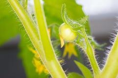 Die diese Tomatenpflanze keimt im Frühjahr Lizenzfreie Stockfotos