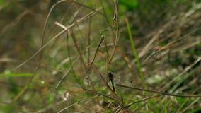 Die diskrete Libelle mit transparenten Flügeln sitzt auf einem Zweig stock footage