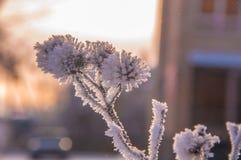 Die Distelniederlassungen umfasst durch den Schnee Stockfoto